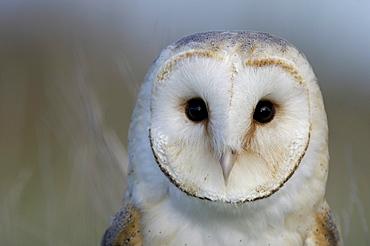 Barn owl (tyto alba) close-up of head showing facial disc, uk