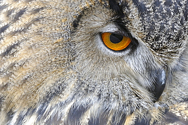 European eagle owl (bubo bubo) close-up of face, abstract image, scotland, captive
