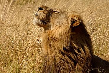 Lion. Panthera leo. Male sniffing the air. Botswana