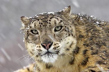 Portrait of a snow leopard (panthera uncia), snowing, captive