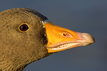 Greylag goose. Anser anser. Close-up of and, uk