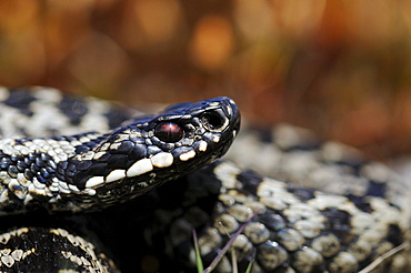 Adder (vipera berus) close-up of head, peak district, uk