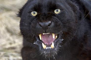 Black leopard (panthera pardus) snarling, close, up. captive.