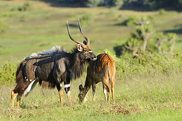 Nyala (tragelaphus angasi) male and female together, male in courtship display, eastern cape, south africa