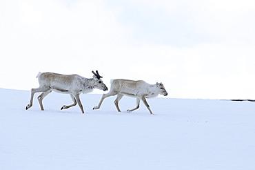 Reindeer (rangifer tarandus) two running together over snow, finland