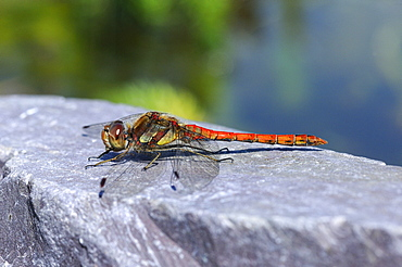 Common Darter Dragonfly (Sympetrum striolatum) resting on rock by water, Oxfordshire, UK