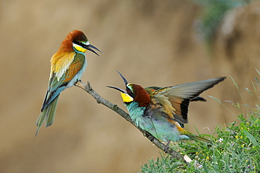 European Bee-eater (Merops apiaster) pair perched on twig squabbling, Bulgaria