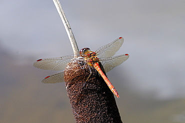 Common Darter Dragonfly (Sympetrum striolatum) male resting on bullrush, Oxfordshire, UK