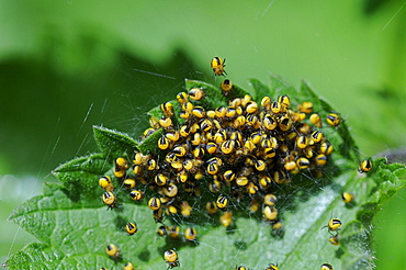Garden orb spider (araneus diadematus) mass of newly hatched baby spiders, on common nettle plant, kent, uk
