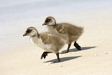 Upland goose (chloephaga picta) two chicks walking on sandy beach, new island, falkland islands.