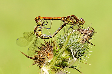 Common darter dragonfly (sympetrum striolatum) pair mating on thistle plant, oxfordshire, uk