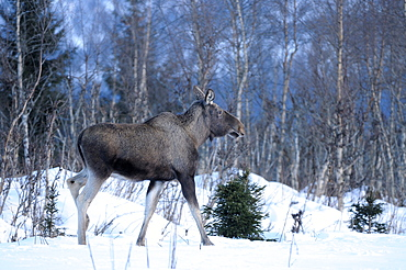 European moose (alces alces) standing at edge of forest in snow, norway