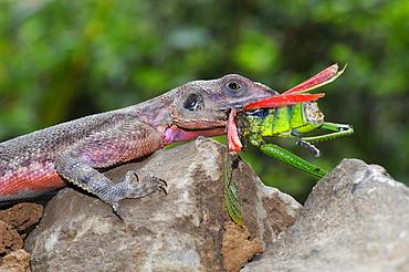 Rock agama (agama agama) male eating grasshopper, masai mara, kenya