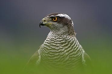 Northern goshawk, accipiter gentilis. Close-up of head and shoulders (captive). Scotland, uk