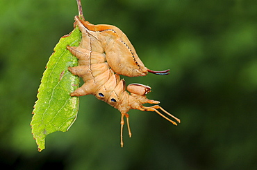 Lobster moth ( stauropus fagi) fully grown larva at rest on blackthorn leaf, oxfordshire, uk