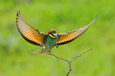 European Bee-eater (Merops apiaster) about to land on twig, Bulgaria