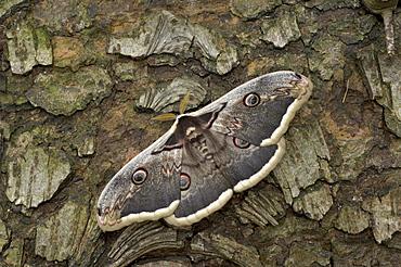Giant emperor moth (saturnia pyri) europe.