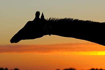 Giraffe (giraffa camelopardalis) silhouette of head and neck at sunrise, eastern cape, south africa