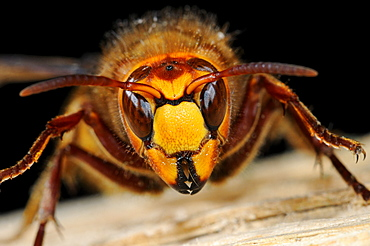 Queen hornet (vespa crabro) close-up of head and jaws of queen, oxfordshire, uk