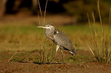 Grey heron. Ardea cinerea. Chobe river, botswana