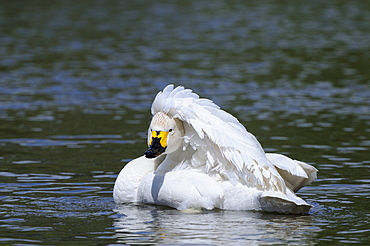 Bewick's swan (cygnus columbianus) on water, preening, slimbridge, uk