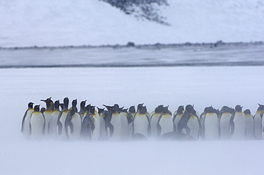 King penguins (aptenodytes patagonicus) right whale bay, south georgia, group huddled together in snow storm
