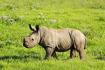 White rhinoceros (ceratotherium simum) calf, eastern cape, south africa
