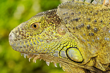 Green iguana (iguana iguana) close-up of head, captive, south africa