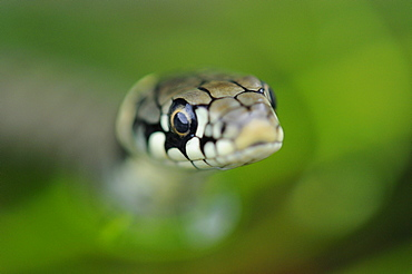 Grass snake (natrix natrix) close,up of head of young snake, oxfordshire, uk