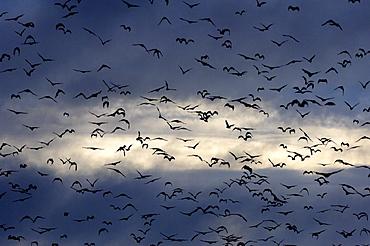 Straw-coloured fruit bat (eidolon helvum) kasanka  park, zambia, flock in flight in silhouette.