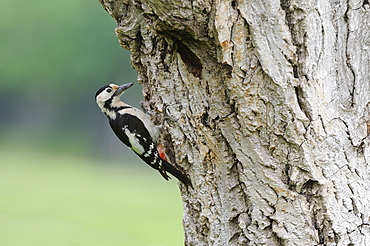 Syrian Woodpecker (Dendrocopos syriacus) perched on tree by entrance to nest, Bulgaria