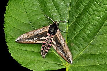 Privet Hawkmoth (Sphinx ligustri) adult moth resting on leaf, Oxfordshire, UK