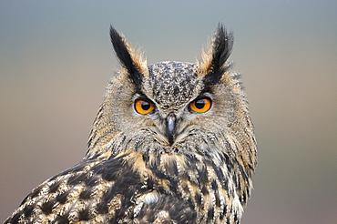 European eagle owl (bubo bubo) portrait, scotland, captive