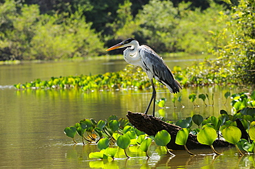 Cocoi heron (ardea cocoi) perched on dead log by waters edge, pantanal, brazil