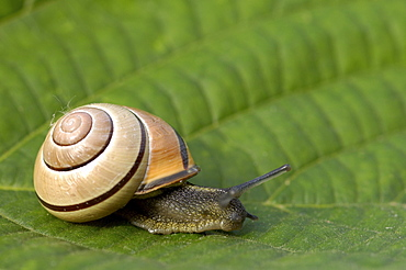 Brown lipped snail (cepaea nemoralis) climbing up plant stem, oxfordshire, uk.