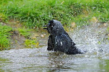 Jackdaw (corvus monedula) bathing, oxfordshire, uk