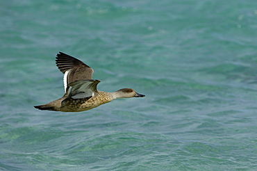 Patagonian crested duck (anas specularoides) in flight over water, new island, falkland islands.
