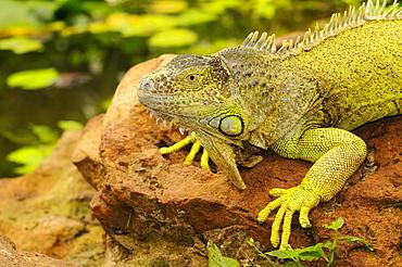 Green iguana (iguana iguana) captive, south africa