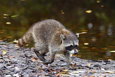 Racoon. Running. Florida, usa