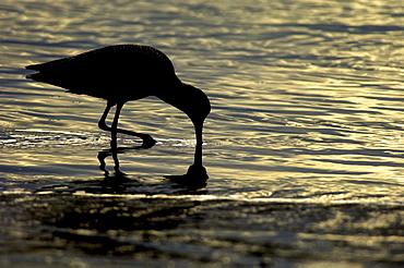 Marbled godwit. Limosa fedoa. Silhouette, feeding at sunset, monterey bay, usa