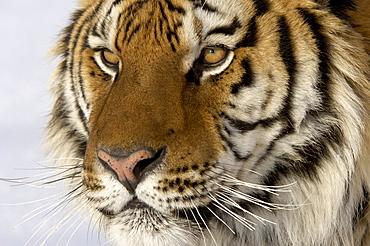 Siberian tiger (panthera tigris altaica), close, up of head, captive, usa