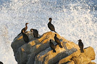 Cape cormorant (phalacrocorax capensis) false bay, south africa