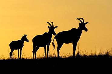 Topi (damaliscus lunatus, masaii mara, kenya, three in silhouette at sunrise.