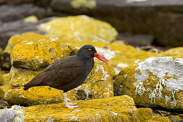 Oystercatcher (haematopus ater) new island, falkland islands, stood on lichen covered rock.