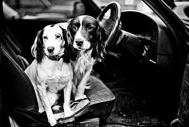 Gun dogs, Buckinghamshire, England, United Kingdom, Europe