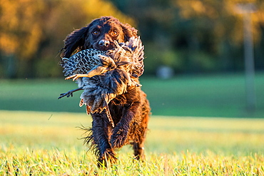 Gun dog with pheasant, Buckinghamshire, England, United Kingdom, Europe