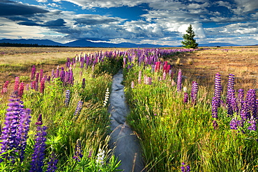 Lupin lined stream, near Lake Tekapo, Mackenzie Country, South Island, New Zealand, Pacific