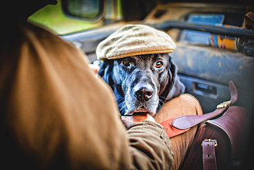 Gun dog with shooting cap, Buckinghamshire, England, United Kingdom, Europe