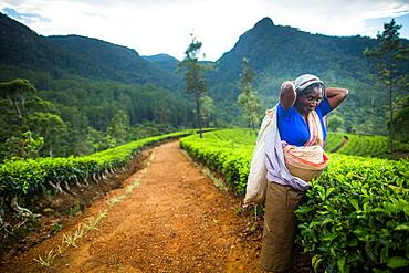 Tea picker, Haputale, Sri Lanka, Asia