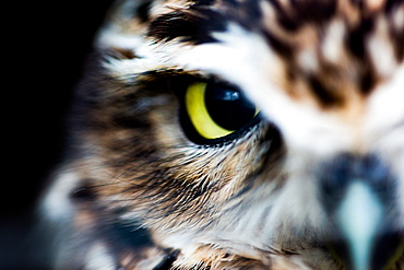 Little owl (Athene noctua), Wheatley, Oxfordshire, England, United Kingdom, Europe
